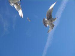 seagulls250